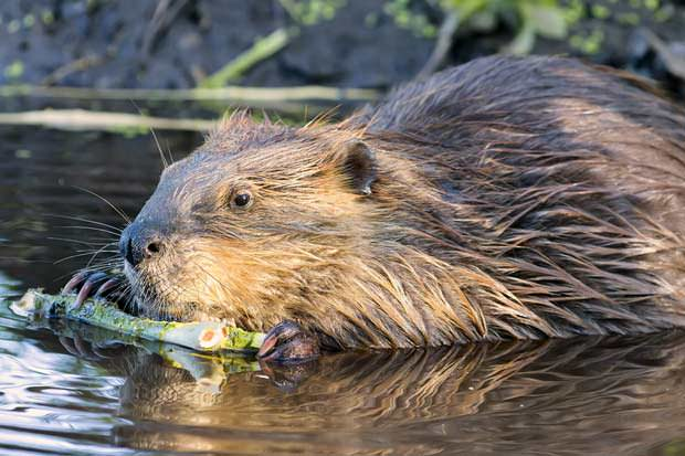 Beaver anal extract